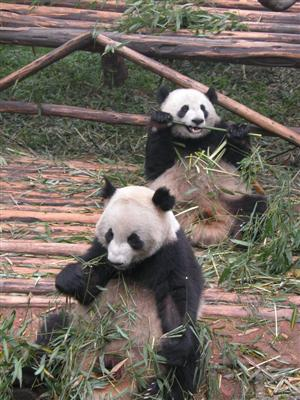 Chengdu, China - Panda