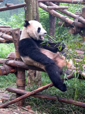 Chengdu, China - Panda Kicking Back
